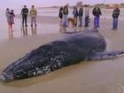 Baleia encalhada em praia do Rio Grande do Sul é sacrificada