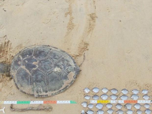 Segundo a ong, 35 carcaças de tartarugas marinhas foram encontradas na rgeião, nos últimos dois meses (Foto: Divulgação/Ong Pat Ecosmar)