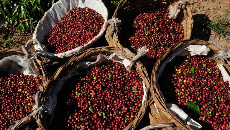 Nos 11 primeiros meses deste ano, o volume de café exportado pelo Brasil caiu 9,71% em comparação com o mesmo período do ano passado (Foto: Ernesto de Souza/Editora Globo)