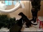 Cães do BAC descobrem estufa para o cultivo de maconha em favela do Rio