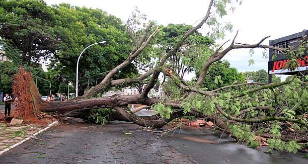 Árvore com cerca de 10 metros que caiu na quadra 712 Norte e fechou a W3 na tarde deste sábado (17); previsão é que ela só seja removida neste domingo (Foto: Fabiano Costa/G1)