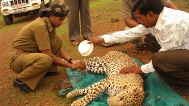 Vadher já resgatou pelo menos 400 leopardos  (Foto: Parque Florestal Nacional de Gir)