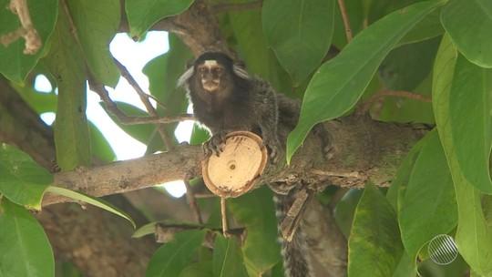 Sobe para 25 o número de mortes de macacos por febre amarela na Bahia