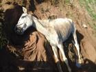 Cavalo morre após ficar pelo menos dois dias abandonado em Sarapuí