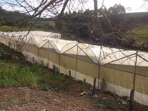 Tomares amarelos são cultivados em estufa em Machado (MG). (Foto: Jéssica Balbino/ G1)