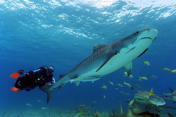 Lawrence mergulhando com um Tubarão Tigre  (Foto: Divulgação/Lucas Pupo)