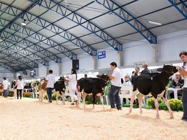 Bezerras também recebem tratamento especial para a feira agropecuária (Foto: Raul Voorsluys/Assessoria de Imprensa)