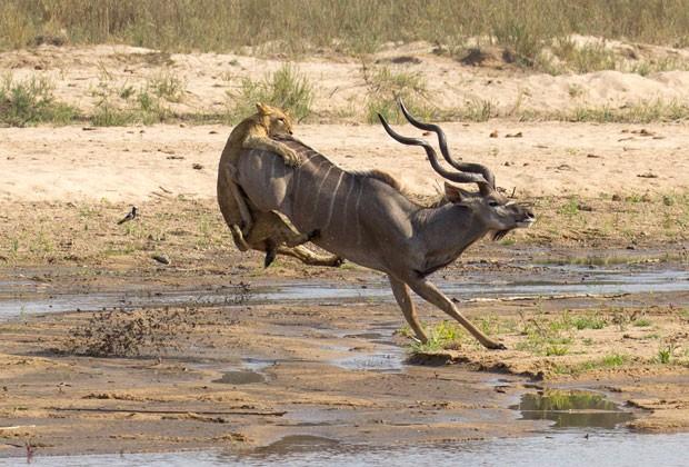 Ágil ataque da leoa ao antílope foi registrado na reserva de MalaMala, na África do Sul (Foto: Gary Hill/Caters News)