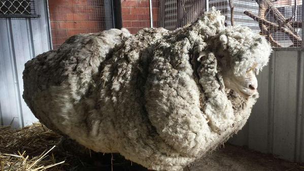 As autoridades ficaram receosas com o estado de saúde da ovelha (FOTO: REPRODUÇÃO/TWITTER)