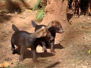 Filhotes de cachorro-vinagre no Zoológico de Americana (Foto: Divulgação/ Zoológico de Americana)