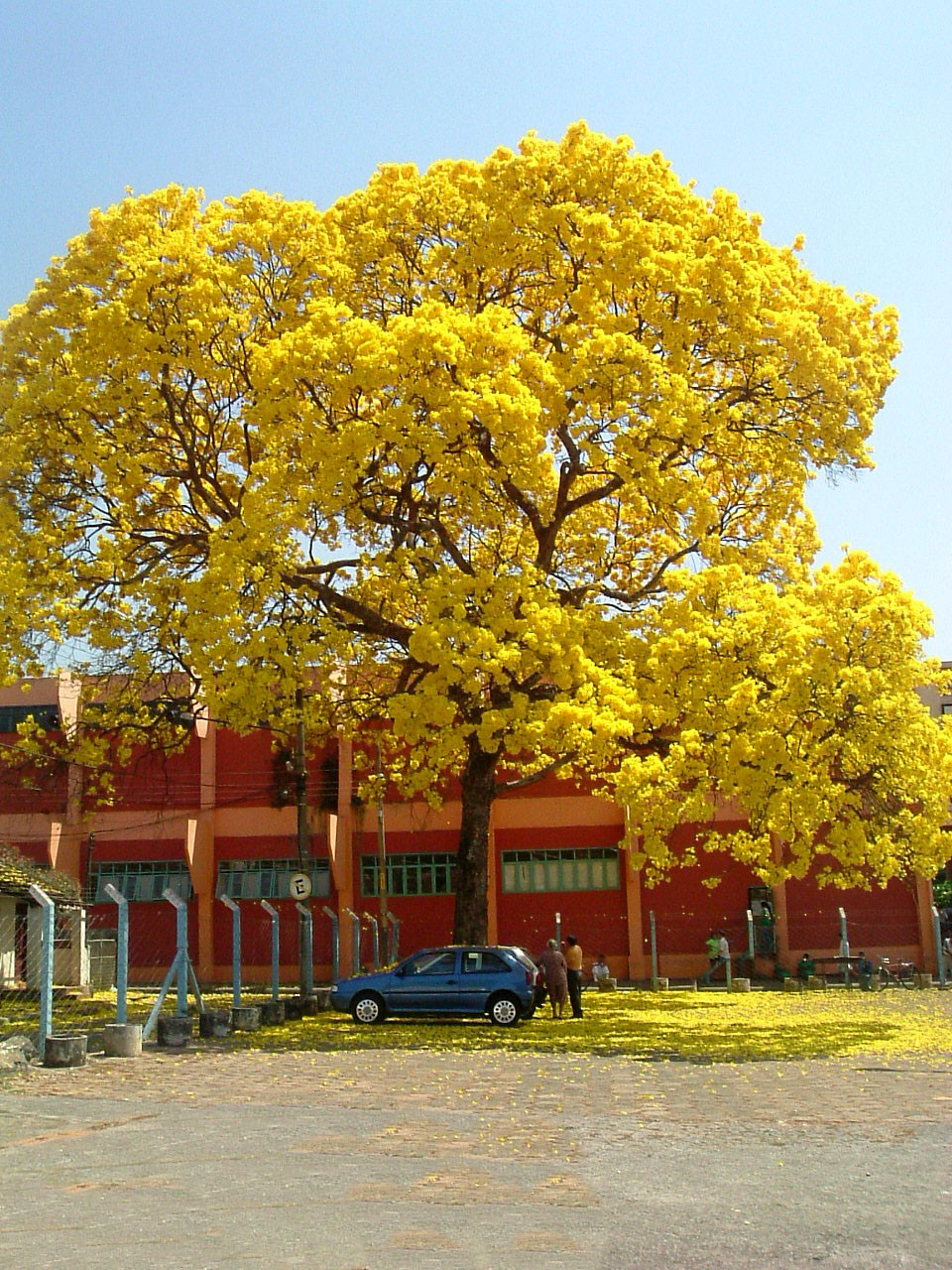 ipe-amarelo (Foto: Wikimedia Commons)