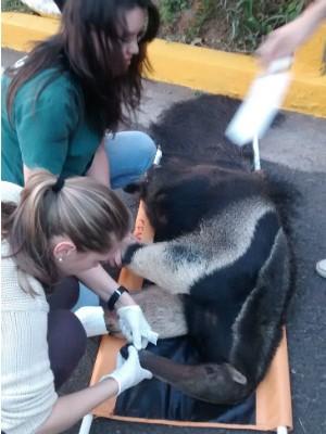 Animal foi levado para especialistas na Unesp de Botucatu  (Foto: Divulgação/ Bombeiros Avaré)