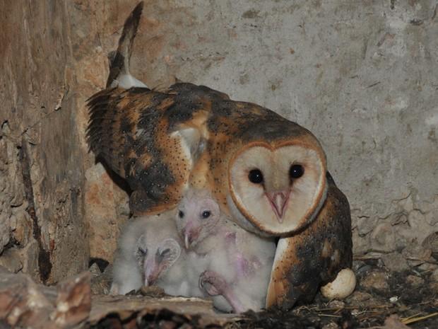Dois dos ovos vingaram e agora a coruja tem dois fihotes para cuidar (Foto: Fernando Maia/Rota das Bandeiras)