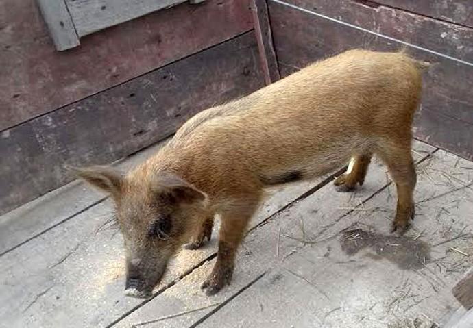 Porquinho usado na cena está acostumado a participar de gravações (Foto: Divulgação)