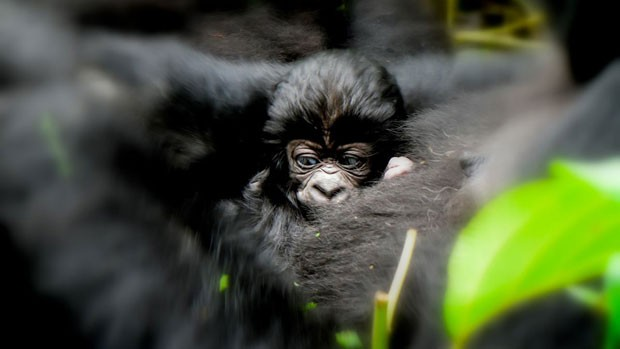 Filhote de gorila (Foto: Virunga National Park/BBC)