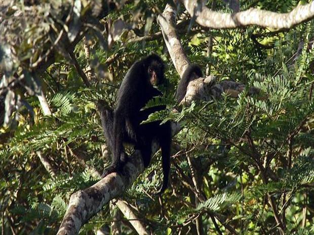Vive na floresta amazônica, em florestas altas, chuvosas, inundáveis ou em terra firme (Foto: Sávio Monteiro / TG)