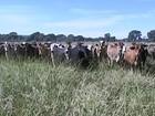 Em MS, as pastagens estão verdes e o custo para manter o gado diminuiu