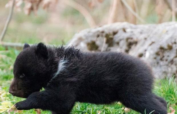 O pequeno filhote era saudável, no entanto, foi rejeitado por sua família. Ursos são conhecidos por serem animais solitários (Foto: Reprodução/Facebook)