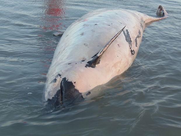 Animal foi encontrado na tarde desta terça-feira em Tibau, litoral do RN (Foto: Ronaldo Josino)