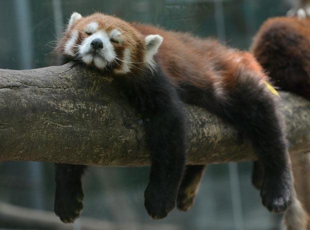 Panda vermelho tira soneca no zoológico de Pequim, na China.  (Foto: Mark Ralston/AFP)