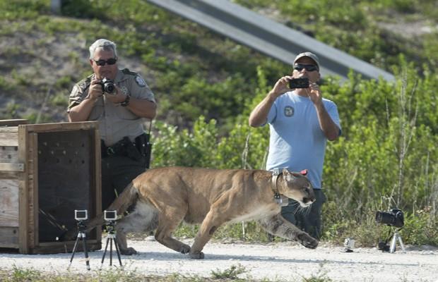 O animal havia sido resgatado em 2011, após sua mãe ter sido encontrada morta. A irmã do puma também foi libertada nesta quarta-feira (3), mais cedo. Os dois felinos foram criados em cativeiro nos últimos dois anos, segundo a Comissão de Vida Selvagem e Pesca da Flórida (Foto: J Pat Carter/AP)