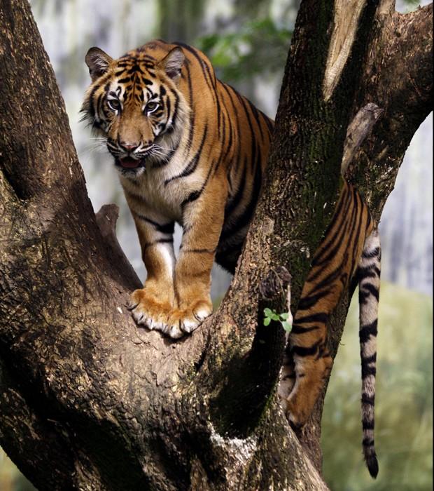 Felino em zoológico na Indonésia. Restam apenas 250 exemplares deste tipo de tigre na natureza, segundo a WWF (Foto: Binsar Bakkara/AP)