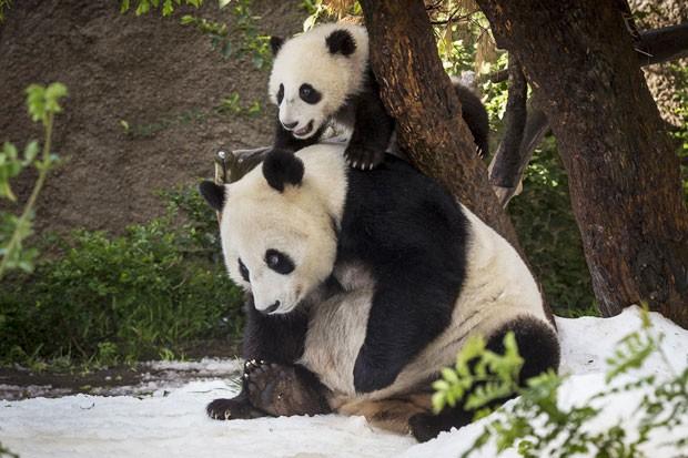 Xiao Liwu aproveitou para brincar na neve com a mãe, Bau Yun, e escalar suas costas (Foto: Reuters/Ken Bohn/San Diego Zoo)