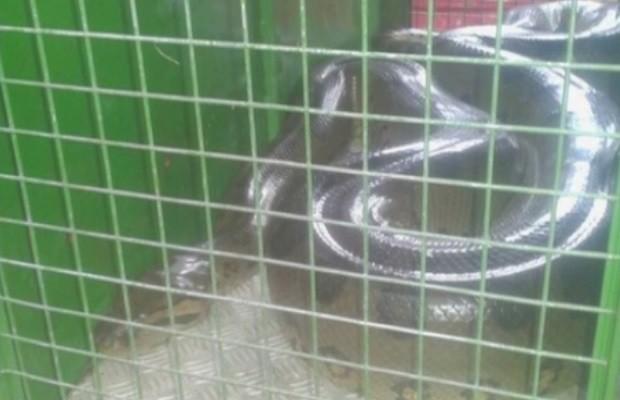 Sucuri de 6 metros é capturada em mata perto de condomínio, em Goiás (Foto: Reprodução/TV Anhanguera)