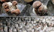 Sítio é especializado em cogumelos e possui a maior produção da iguaria no Estado (Divulgação / Ricardo Fernandes)