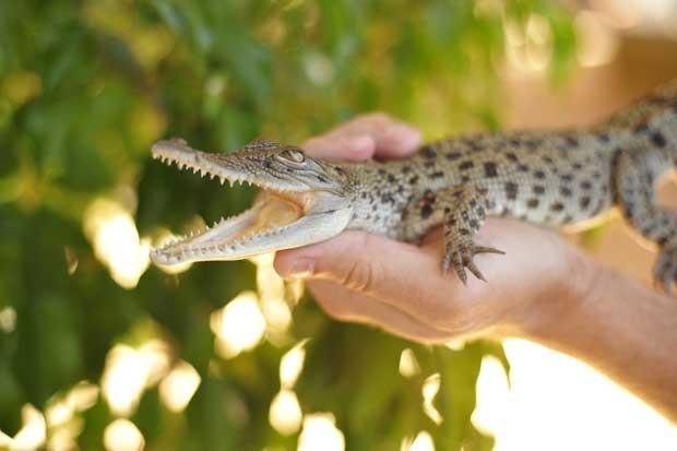 Crocodilo chamado george é apresentado na Austrália (Foto: Governo do Território norte/ AFP)