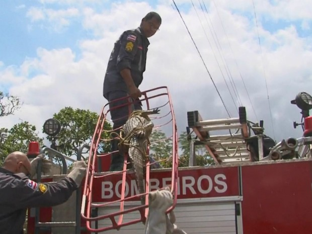 Bombeiros levaram o animal para o Instituto do Meio Ambiente e Recursos Hídricos (Foto: Reprodução/TV Subaé)