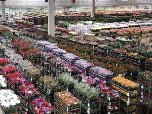 Cooperativa Veiling Holambra (SP) prevê venda de 12 milhões de flores e plantas para o dia de Finados (Foto: Divulgação/Veiling Holambra)