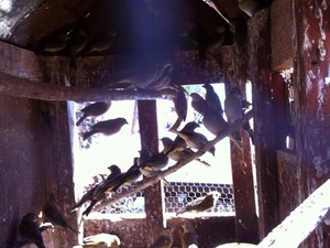 Pássaros silvestres apreendidos Coromandel denúncia (Foto: Polícia de Meio Ambiente/Divulgação)
