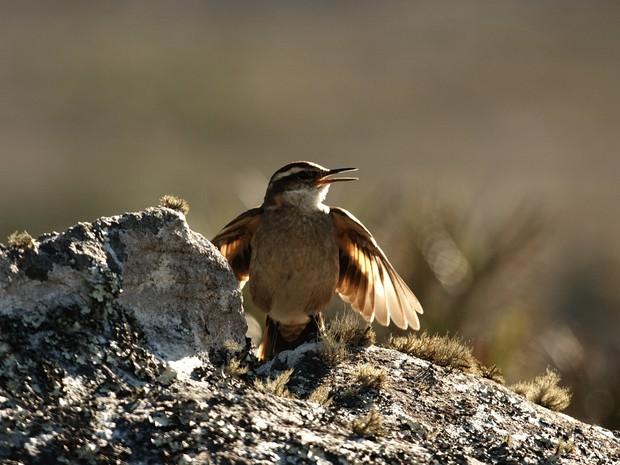 O pedreiro-do-Espinhaço, ave encontrada na região central de Minas Gerais (Foto: Divulgação/Guilherme Freitas)