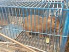 Mulher resgata filhote de capivara que se chocou com caminhão na BR-153