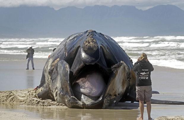Carcaça de baleia apareceu nesta segunda-feira (8) em praia da Cidade do Cabo, na África do Sul (Foto: Schalk van Zuydam/AP)