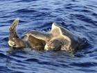 Tartarugas são 'flagradas' durante processo de reprodução no Sri Lanka