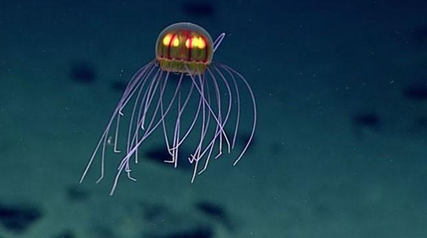 Água-viva estava a 3,7 mil metros de profundidade (Foto: NOAA)