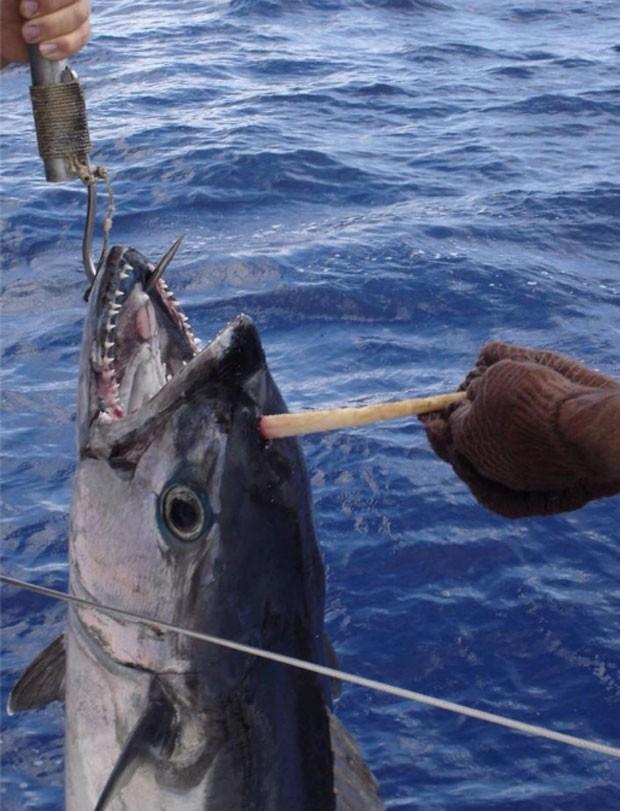 Trio fisgou atum com 'chifre' em pescaria na Austrália (Foto: Reprodução/Facebook/ABC Tales from the Tinny)