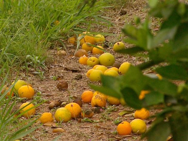 Com atraso na colheita em Taquaritinga, laranja passa do ponto, cai e apodrece  (Foto: Carlos Trinca/EPTV)