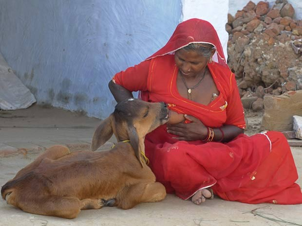 Em 2010, a indiana Chouthi Bai se tornou atração na vila Kilchu, no estado de Rajasthan, na Índia, por amamentar um bezerro. (Foto: Vinay Joshi/Reuters)