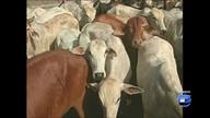 Em Santarém, Ibama investiga frigoríficos por compra de gado de áreas desmatadas