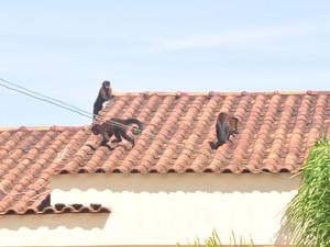 Macacos invadem casas em busca de comida (Foto: Rodrigo Galdino/Divulgação)