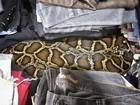 Mulher leva susto ao flagrar cobra de 2,5 m 'dormindo' no meio de roupas