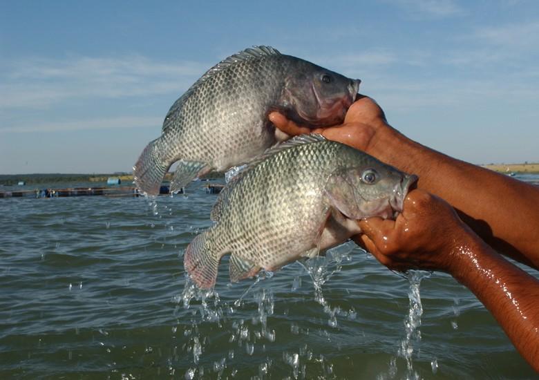 Mapeamento do sebrae revela o boom da produ o de til pia for Elaboracion de estanques para piscicultura