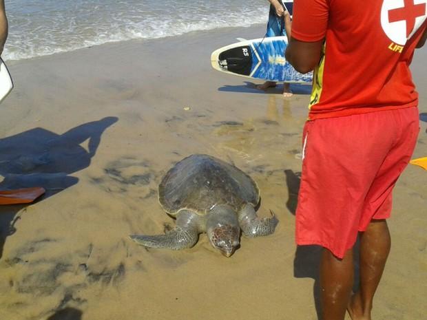 Tartaruga foi resgatada por surfistas no mar da Barra (Foto: Lucas Vieira / Arquivo Pessoal)