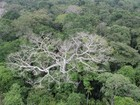 Efeito climático pode ter matado 17% mais árvores na Amazônia, diz estudo