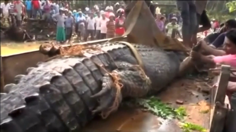 O crocodilo voltou para o rio de onde havia saído