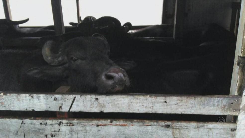 Animais teriam sido furtados de uma fazenda do interior do pará (Foto: Reprodução/Rede Amazônica no Amapá)