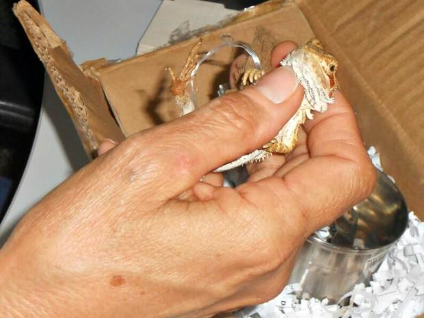 Animais estavam presos em uma caneca de inox, dentro de uma caixa (Foto: Divulgação/Ibama-MT)